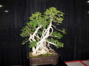 come-curare-un-bonsai